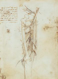 da Vinci's anatomical drawing